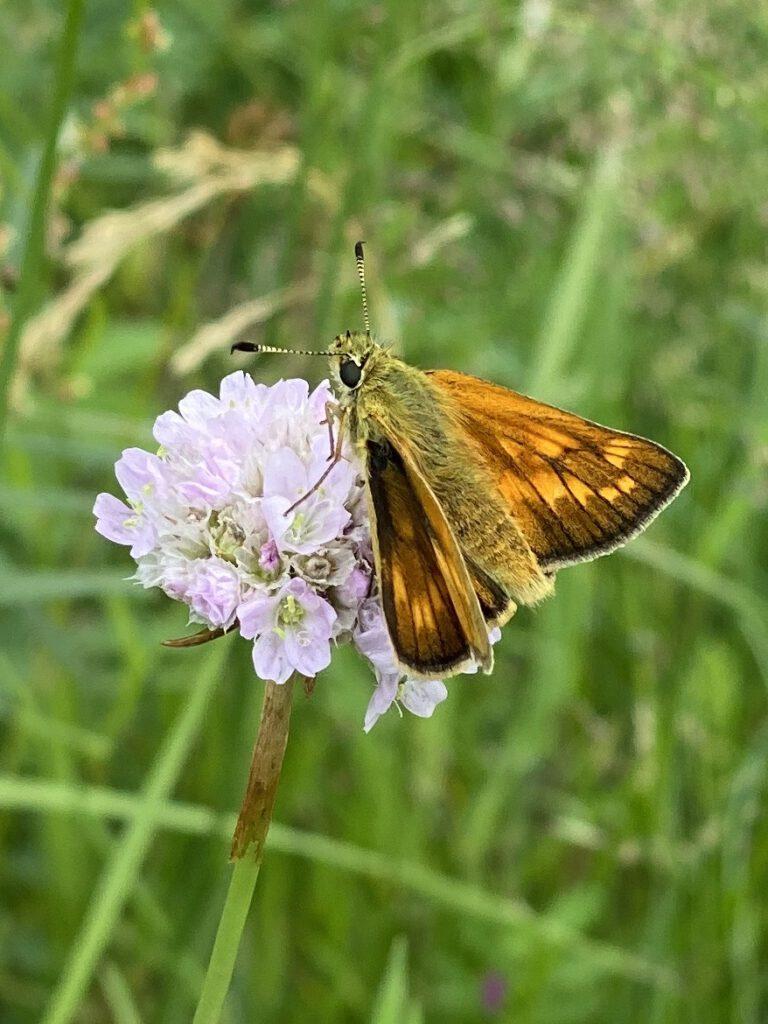 Dieser orangene Schmetterling mit dickem Körper und zarten Fühlern war einer meiner Glücksmomente der Woche vom 25. Juni bis 1. Juli 2020