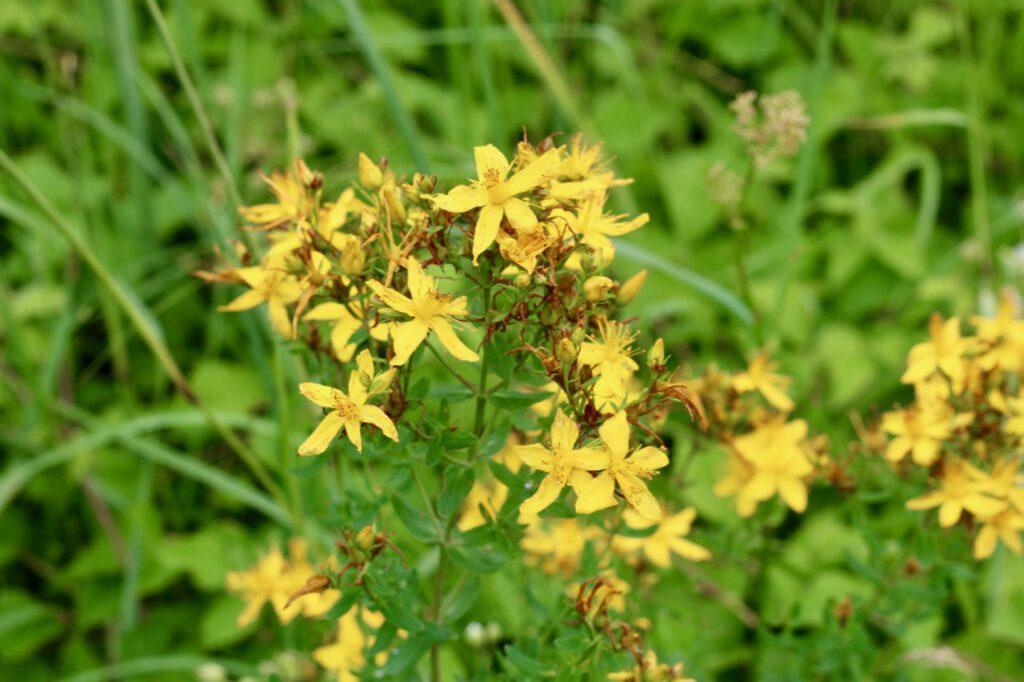 Johanniskraut-Blüten von Nahmen. Sie sehen aus wie kleine Sonnen, mit 5 gelben Blütenblättern.