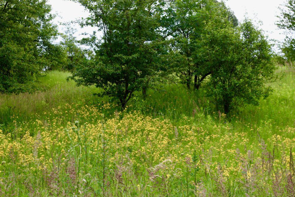 Sommerliche Wiese mit zahlreichem Vorkommen von Johanniskraut, das man braucht, wenn man Johanniskrautöl selbst herstellen will.