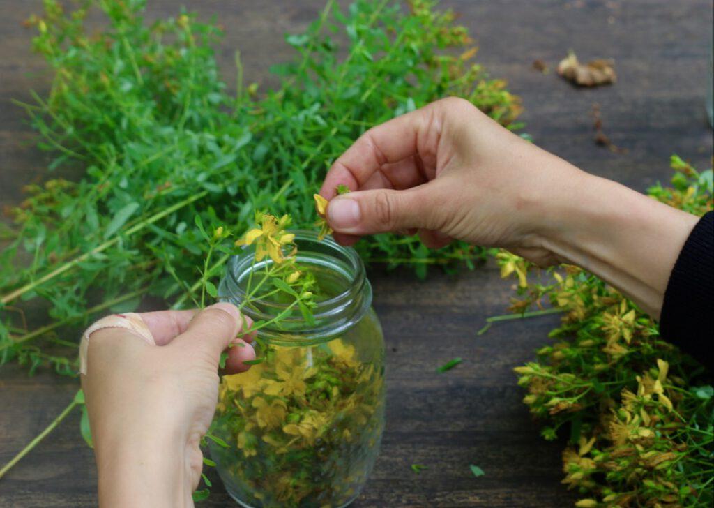 Johanniskrautöl selbst herstellen: erst die Blüten und Blättchen von den Stängeln zupfen