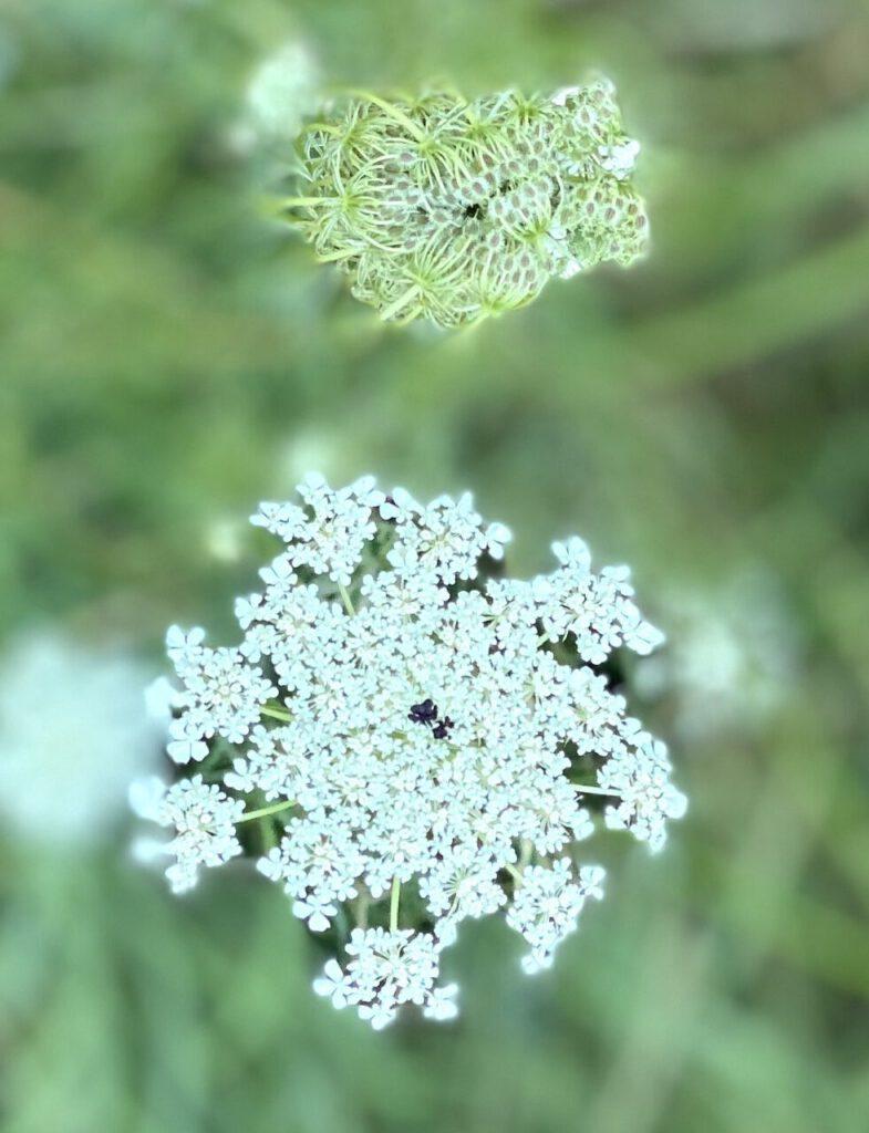 Wilde Möhre mit Blüte und Nestchen für Wildkräuterbrot