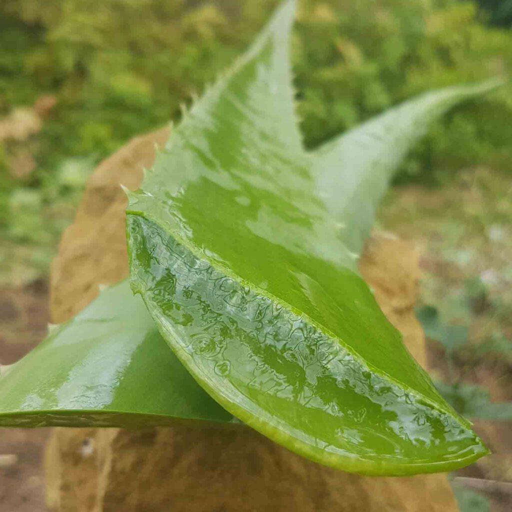 ein aufgeschnittenes Aloe-Vera-Blatt, aus dem Gel heraustropft.