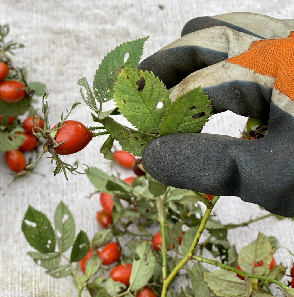 Hagebuttenkranz Schritt 1: löchrige Blätter und Dornen abzupfen