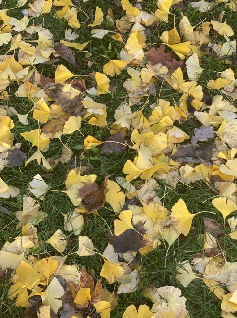 Glücksmomente im November 2020, Nr. 2: gelbe Gingko-Blätter auf dem Gras