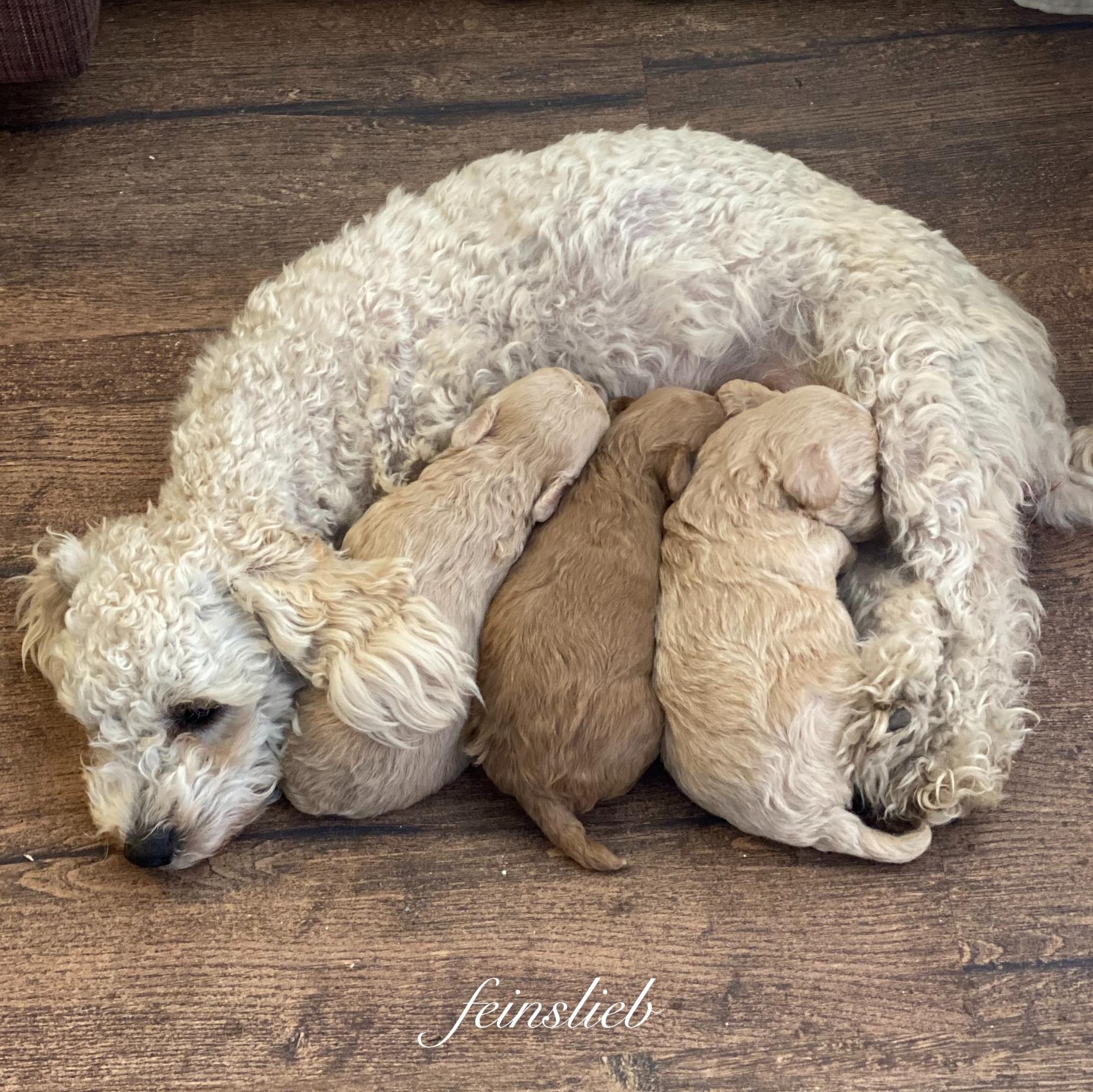 Glücksmomente des Monats April 2021: drei Hundebabys trinken an ihrer Mama.